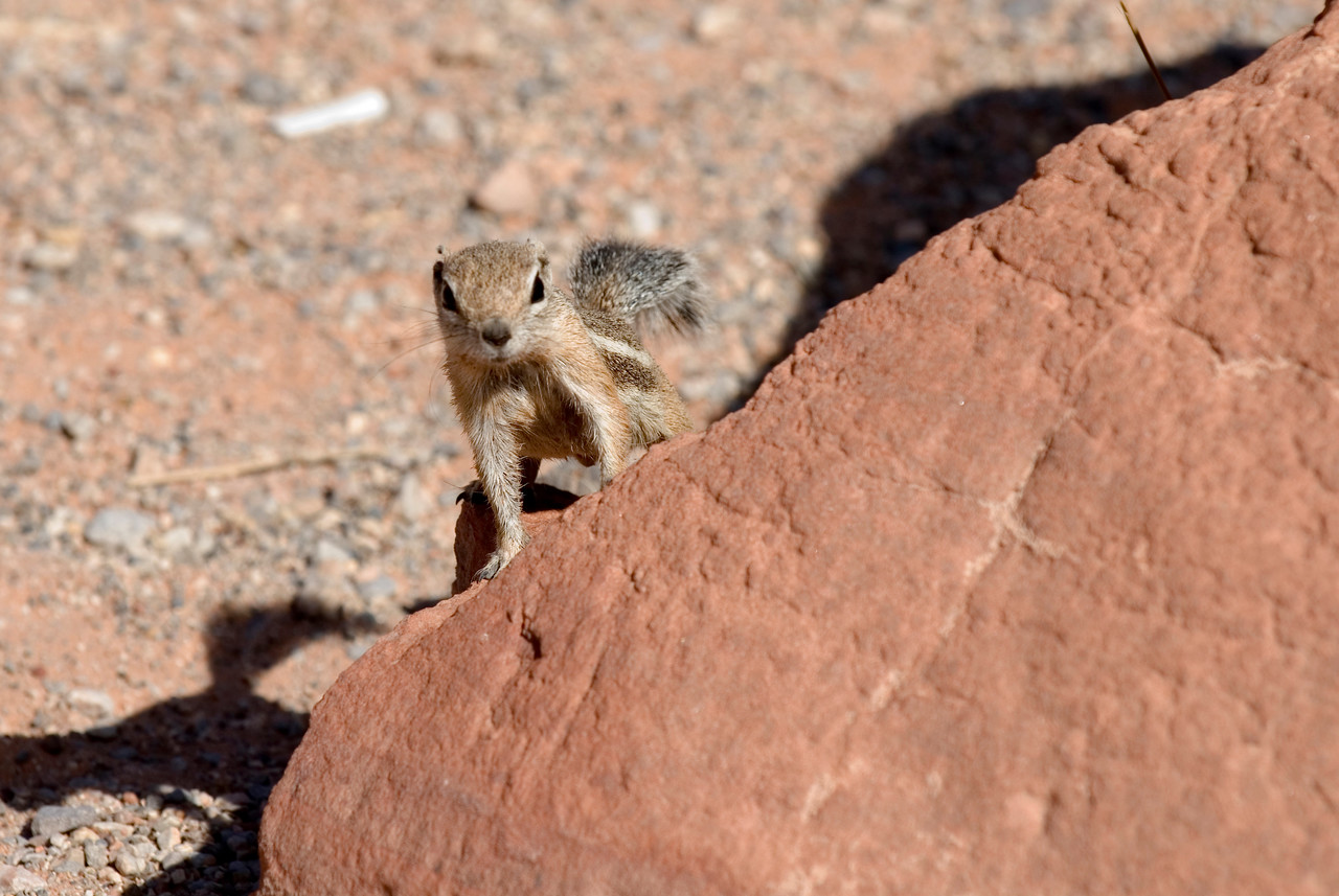 Harris' Antelope Squirrel
