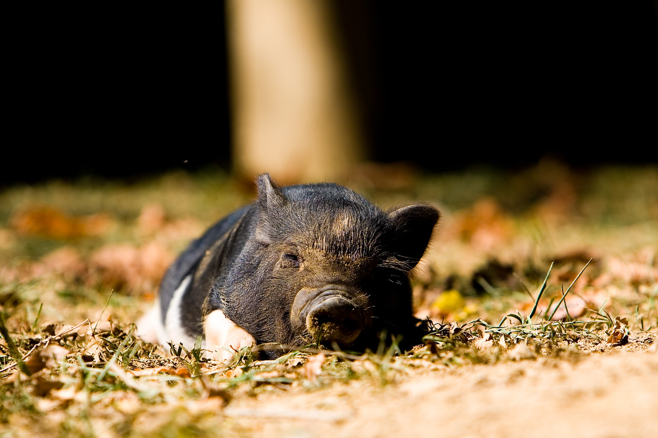 Dreaming of Hog Heaven