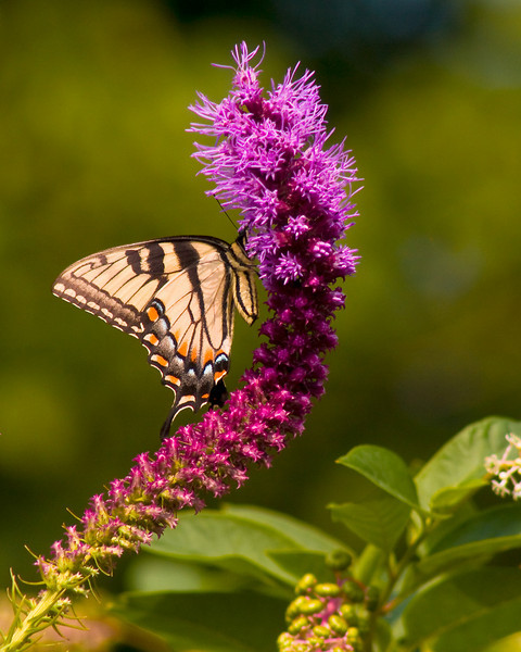 BF001<br /> Tiger Swallowtail on Kansas Gayfeather