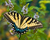 BF010<br /> Tiger Swallowtail on Mint
