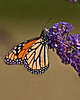BF003<br /> Hanging On<br /> Monarch on Butterfly Bush
