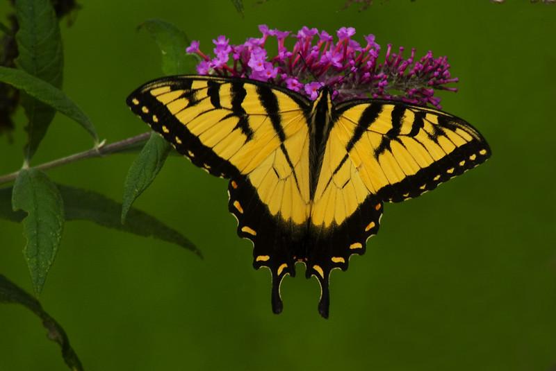 BF012<br /> Tiger Swallowtail