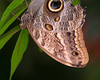 "BF011<br /> ""Fooled Ya""<br /> This is an Owl Butterfly (captive) hanging upside down.  At first glance it looks like the face of some sort of lizard poking out of the leaves."