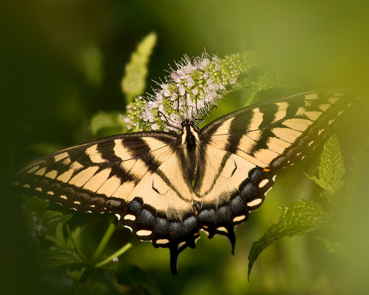 BFO13<br /> Tiger Swallowtail in Mint Patch