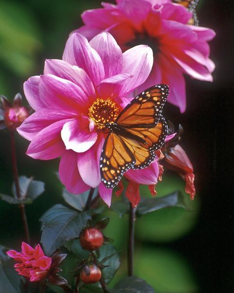 BF004<br /> Monarch on Dahlia