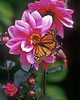 BF004<br /> Monarch on Dahlia