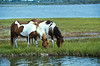 Assateague Ponies no. 1<br /> These are wild horses roaming free on Assateague Island, Maryland.  Some of their better known cousins on Chincoteague Island, Virginia are rounded up and sold at auction by the Chincoteague Fire Department.