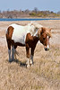 Assateague Ponies no. 5<br /> These are wild horses roaming free on Assateague Island, Maryland. Some of their better known cousins on Chincoteague Island, Virginia are rounded up and sold at auction by the Chincoteague Fire Department.