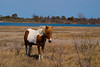 Assateague Ponies no. 3<br /> These are wild horses roaming free on Assateague Island, Maryland. Some of their better known cousins on Chincoteague Island, Virginia are rounded up and sold at auction by the Chincoteague Fire Department. edit<br /> Edit caption: