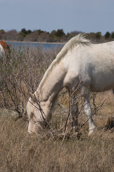 Assateague Ponies no. 4<br /> These are wild horses roaming free on Assateague Island, Maryland. Some of their better known cousins on Chincoteague Island, Virginia are rounded up and sold at auction by the Chincoteague Fire Department. edit