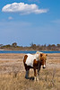 Assateague Ponies no. 2