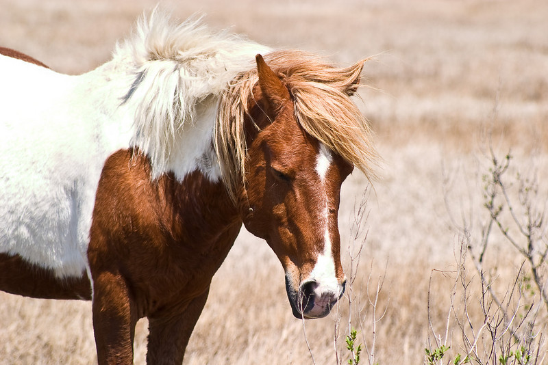 Assateague Ponies no. 8<br /> These are wild horses roaming free on Assateague Island, Maryland. Some of their better known cousins on Chincoteague Island, Virginia are rounded up and sold at auction by the Chincoteague Fire Department.