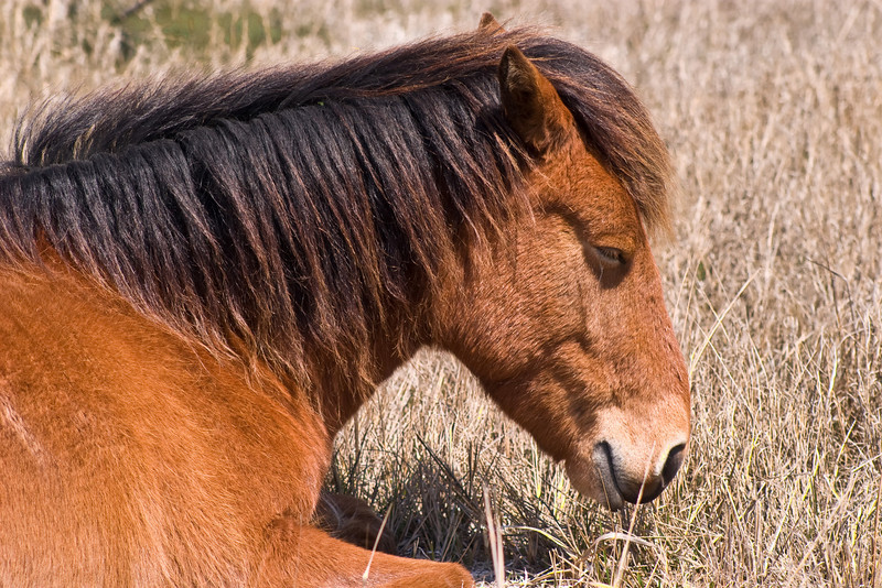Assateague Ponies no.6<br /> These are wild horses roaming free on Assateague Island, Maryland. Some of their better known cousins on Chincoteague Island, Virginia are rounded up and sold at auction by the Chincoteague Fire Department.