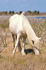 Assateague Ponies no. 7<br /> These are wild horses roaming free on Assateague Island, Maryland. Some of their better known cousins on Chincoteague Island, Virginia are rounded up and sold at auction by the Chincoteague Fire Department.