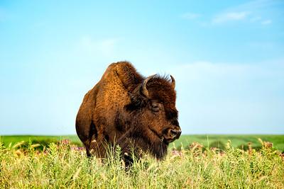 tallgrassprairie_bison_03_NYC0628-1