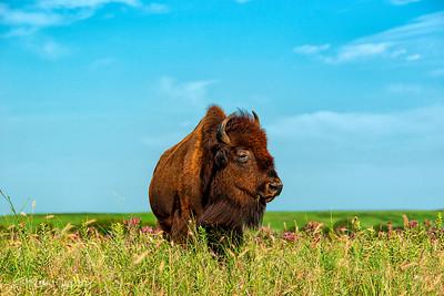 tallgrassprairie_bison_01_NYC0618