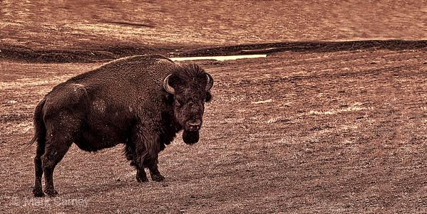 midway buffalo panorama
