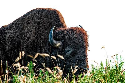 tallgrassprairie_bison_02_NYC0642