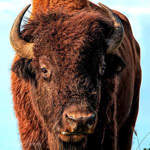 tallgrassprairie_bison_04_NYC0637