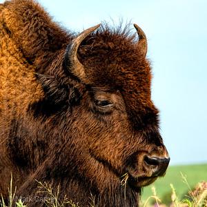 tallgrassprairie_bison_03_square_NYC0628-1