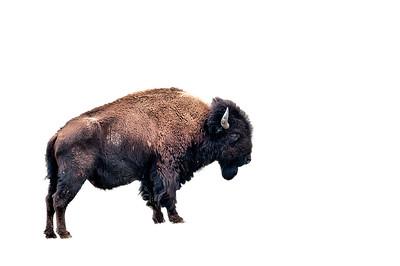 buffalo cutout