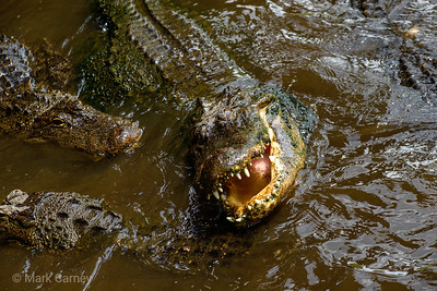 gators 9