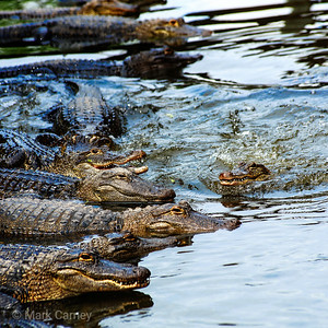 gators 01