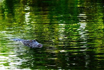 gators 6