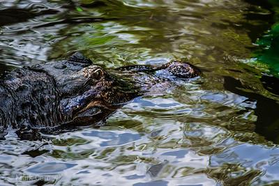 gators 7