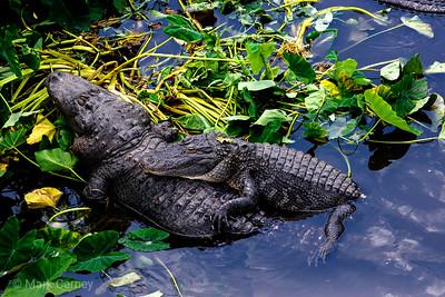 gators 11