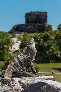 Iguana     Mayan ruins, Tulum Mexico