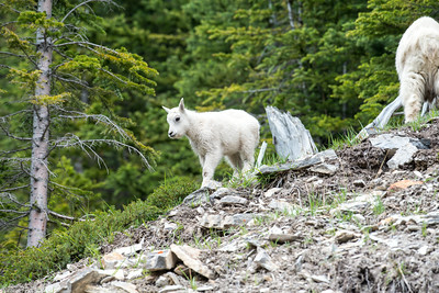 Mountain goat calf