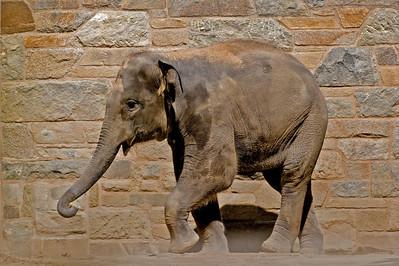 Baby Elephant 'Kandula'