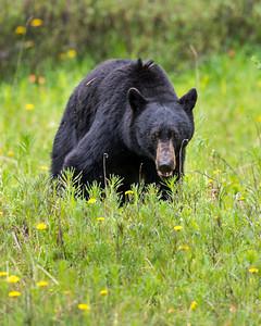 Black Bear - Alberta