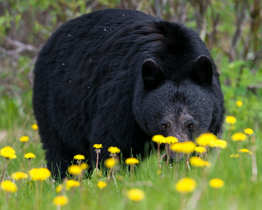 Black Bear - Rocky Mountains