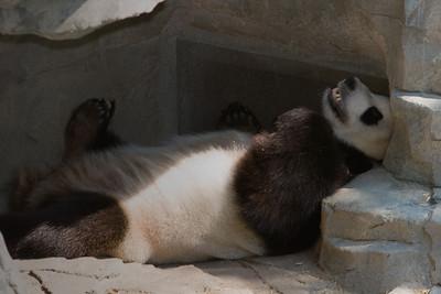 Panda, Tai Shan's Father 'Tien Tien'