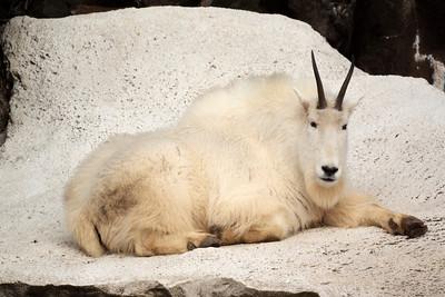 Resting Goat