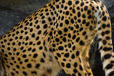 Cheetah Haunches