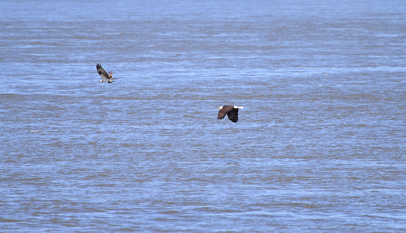 Eagle & Osprey 3<br /> <br /> I think the osprey ended up dropping the fish, so neither of them got dinner!