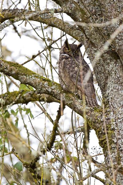 Owl, Great Horned<br /> Ridgefield Wildlife Refuge, Washington