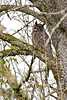 Owl, Great Horned<br /> Ridgefield Wildlife Refuge, Washington
