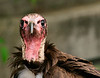 Vulture, Hooded<br /> Injured, in captivity at Oregon zoo