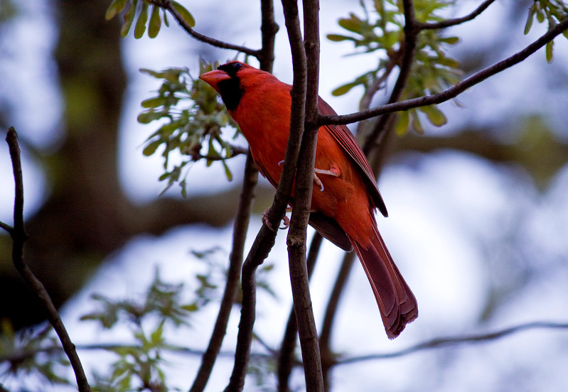 Seeing Red<br /> <br /> I finally saw cardinals in Washington DC!  I was so excited!