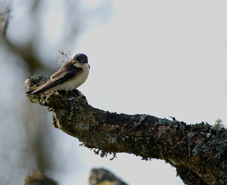 Swallow, Tree <br /> Ridgefield Wildlife Refuge, Washington