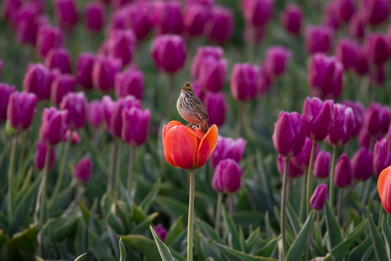 Singing in the Tulips