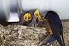 Swallow, Barn babies<br /> Ridgefield Wildlife Refuge, WA