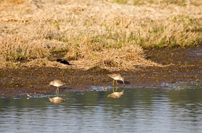 Yellowlegs, Lesser?<br /> Ridgefield Wildlife Refuge, Washington