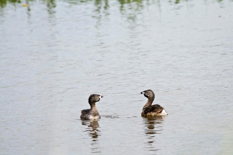 Duck, Grebe, Pied Bill<br /> Ridgefield Wildlife Refuge, Washington