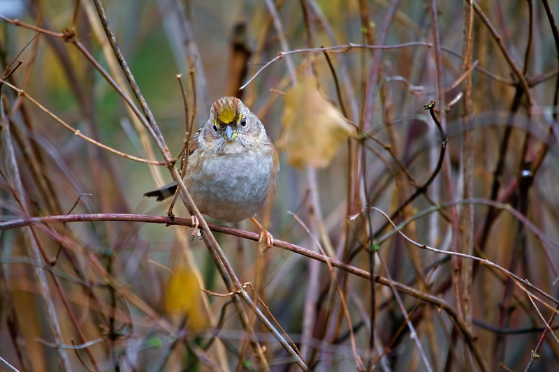Take Time for the Little Things<br /> <br /> I finally caught me a yellow-crowned sparrow!