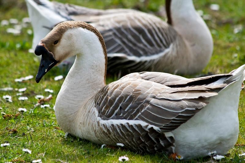 Goose<br /> Lake Oswego, OR